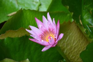flower of water lily by A1Z2E3R