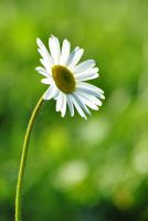 Lonely daisy by Fantaasiatoidab