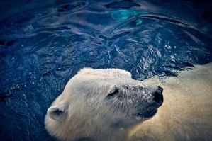 Swimming Polar Bear by Mana-C-E
