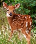 Fawn Deer by Stoic-lamp-post