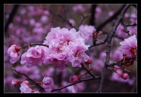 cherry blossoms by baerin