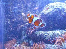Aquarium - clownfish by Flo996
