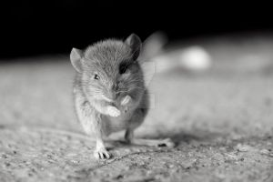 Souris peu farouche 2 by MorningGlory34