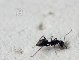 Thirsty ant by aheria