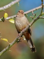 California Towhee by photoquilter
