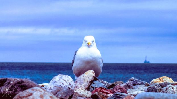 portrait of a seagull. by DrewHarrison