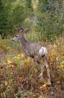 Mule Deer Buck by amzimme