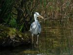 Grey Heron 2 by Lupsiberg