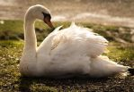 Lady Swan by BradleyDeano