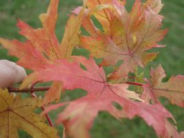 Maple Leaves! by poochy228