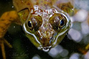 Bull Frog in water by MiaLeePhotography