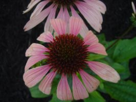 Cone Flower by karenmel