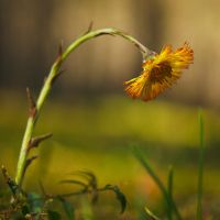 Tussilago #2 by perost