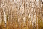 Birch Trees by tizjezzme