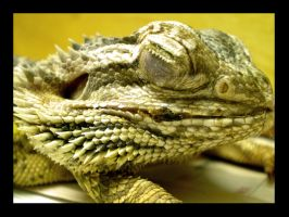 Bearded Dragon by Rubyvy