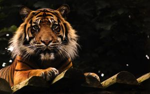 Portrait of a Tiger 2 by Yslen