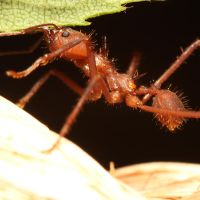Leaf Cutting Ant 03 by s-kmp