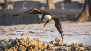 .:Eagle Take Off:. by RHCheng