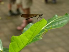 A Balinese Dragon Fly by Mutilator-Of-Cookies