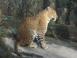Burgers Zoo - Sri Lankan Leopard by SSJGarfield