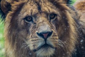 Headshot of a lion by xehanorth91