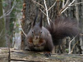 Squirrel 4 by Cundrie-la-Surziere