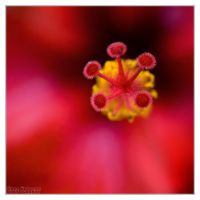 Abstract Hibiscus 3 by DianePhotos