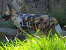 African Wild Dog by photographyflower