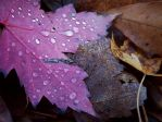.:maple drops:. by Token-One