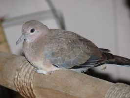 Baby Laughing Dove by darth-laul