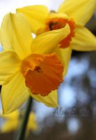 Daffodil in Bloom by crazyal154