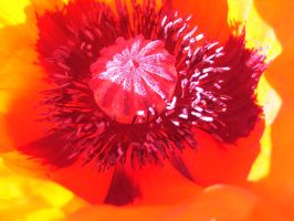 In the Poppy - There is fire by kisses4cuddles
