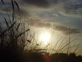 Grasses at sunset by Jules-one