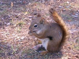 Squirrel 2 by Stickfishies-Stock