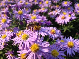 Bee Honey on Aster by DragonFlyer139