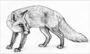 Sketch of a Fox by silvercrossfox