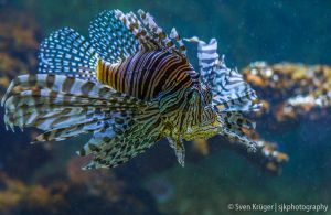 firefish by sjkphotography