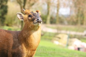 Muntjac by TheAprilChild