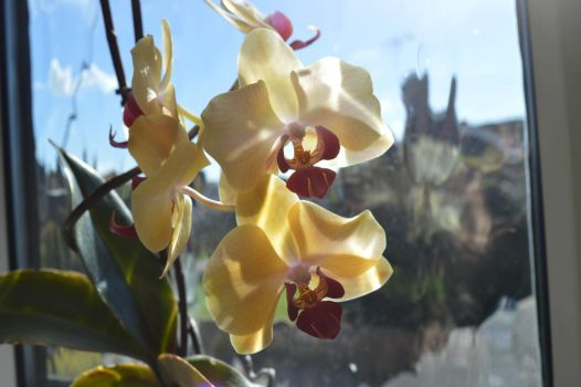 Orchid in the sun 2 by Livvy583