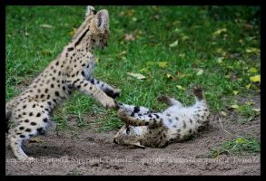Servals in action by Twins72