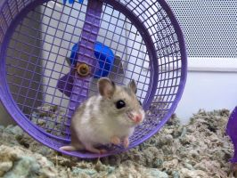 Chinese Dwarf Hamster 2 by koshplappit