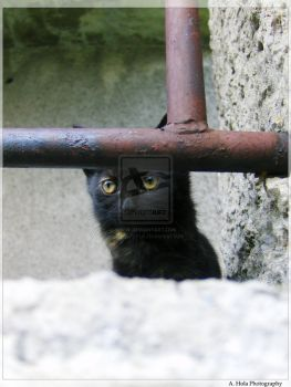 Little Shy and Black by Cats-Paw