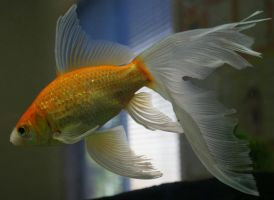 gold fish or mermaid tail 20 by scratzilla