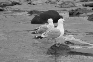 Standing Seagulls, Yawn and Preen by Miss-Tbones