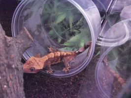 Smaug: Red Harley Crested Gecko by FoxDragonLover