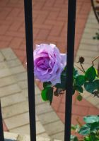 A Rose Imprisioned by matthew-lane
