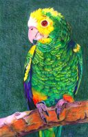Crayon parrot by Lish0ffs