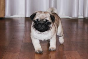 puppy pug by Bembie