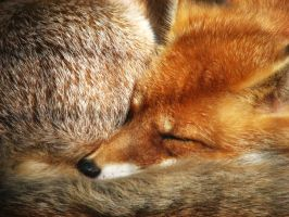 sleeping fox by mrozny