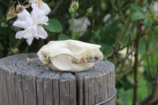 Brushtail Possum Skull by LuxTaxidermy